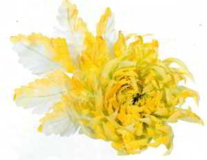 хризантема из ткани, цветы из ткани